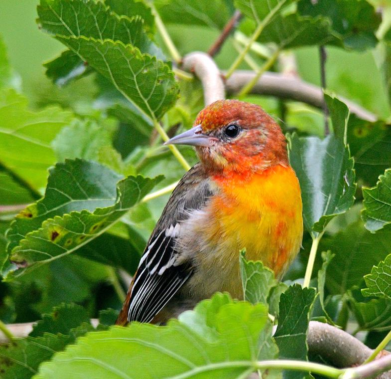 adolescent oriale bird