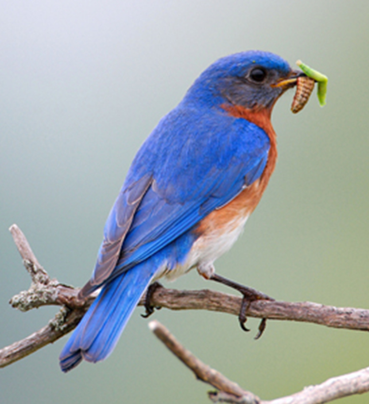 blue bird eating