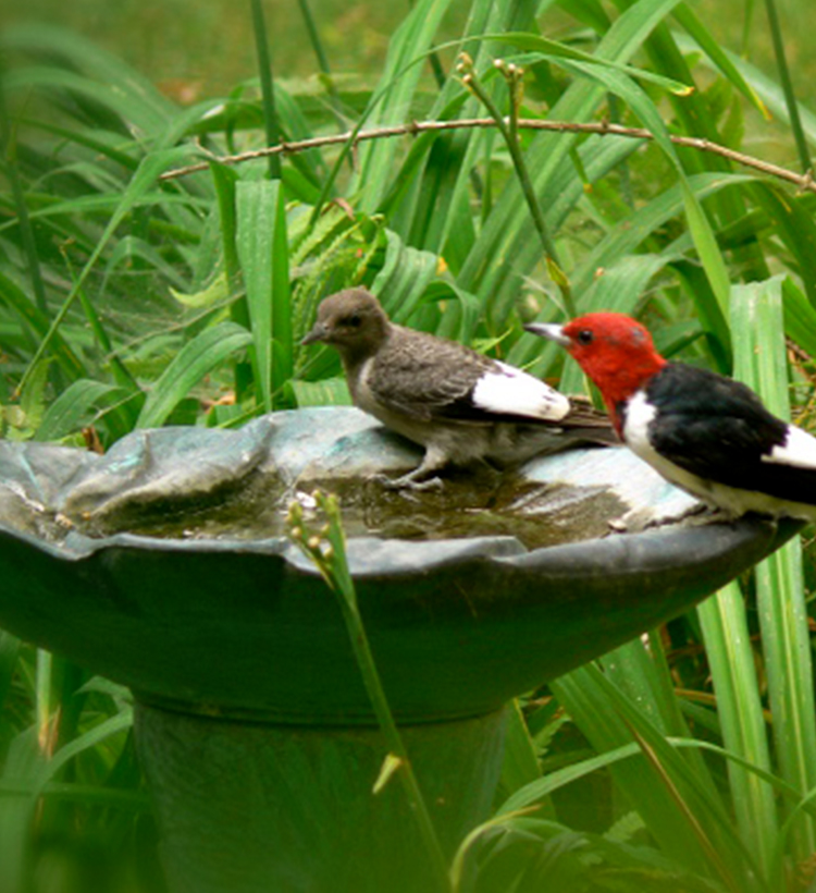 woodpeckers in birdbath