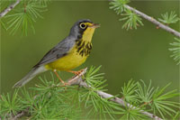Warbler sitting in a pine tree
