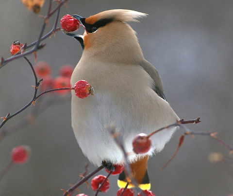 Cedar Waxwing Bird on a tree branch in winter