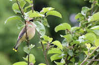 Cedar waxwing bird in a bush