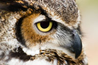 Great-horned owl / Grand-duc d'Amérique