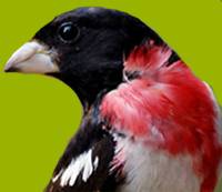 Rose-Breasted Grosbeak 200