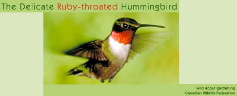 Ruby-Throated Hummingbird Banner