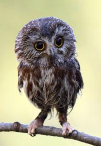 Owl 200