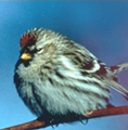 common redpoll 118