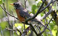 Robin 200