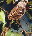 White-Crowned Sparrow 114