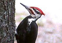 Pileated Woodpecker 200