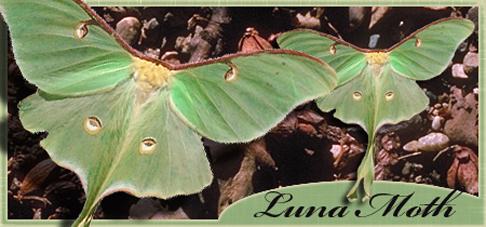 Luna Moth Banner