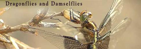 Dragonflies & Damselflies Banner