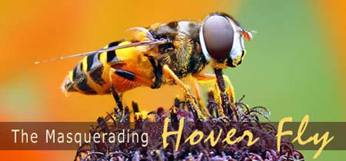 Hoverfly Banner