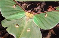 Luna Moth 200