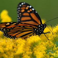 Monarch on yellow flower 200