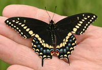 swallowtail butterfly 200