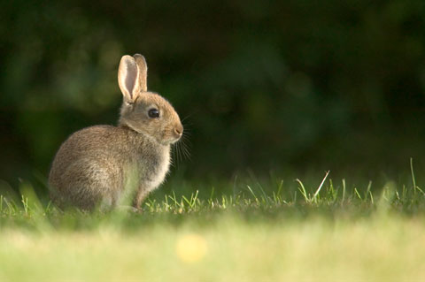 Cottontail rabbit in a field