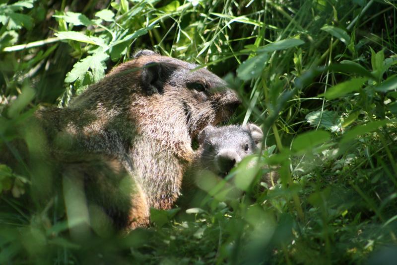 canadian wildlife federation groundhog