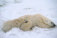 Polar bear - 200