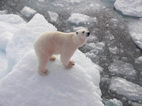 Polar bear on ice 480