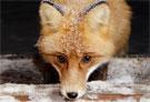 fox 135