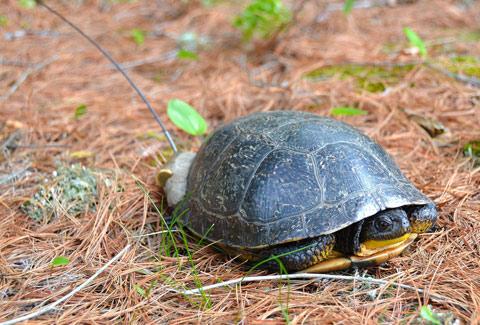 blandings turtle 480
