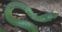 Green snake 200