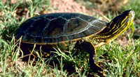 Painted turtle 200