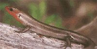 Five-lined skink 200