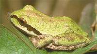 Tree frog 200