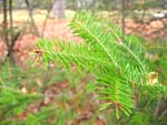 Balsam Fir Branch