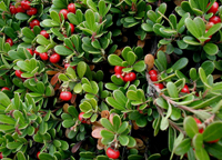 Bearberry-200