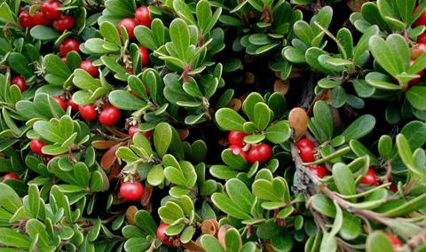 Bearberry bush