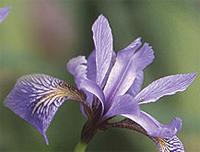 Blug flag iris