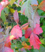 Fragrant sumac leaves in the fall