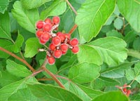 Fragrant sumac berries