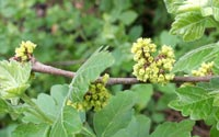 Fragrant sumac flowers provide nectar for bees and other beneficial insects.