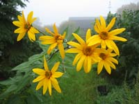 Native Sunflowers brightening