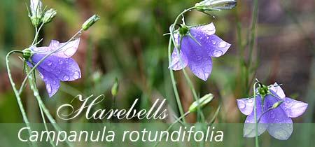 Harebells