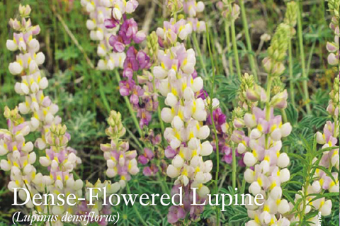 Dens-Flowered Lupine