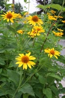 Native Sunflowers