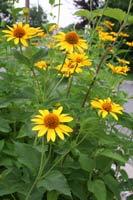 Native Sunflowers