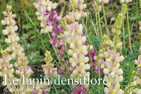 Le Lupine Densiflore