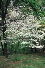 Flowering dogwood tree (Cornus florida)