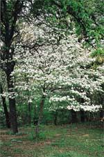 Noble tree in bloom