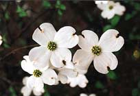 Close-up of flower of flowering dogwood.