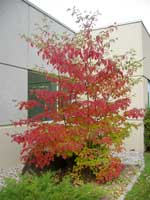Pagoda dogwood (Cornus florida) in fall