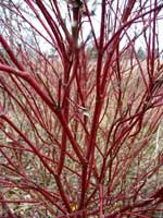 Dogwood shrub with red bark