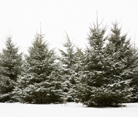 white spruces 199