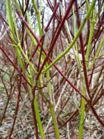 Red osier dogwood (Cornus stolonifera) with red and green branches